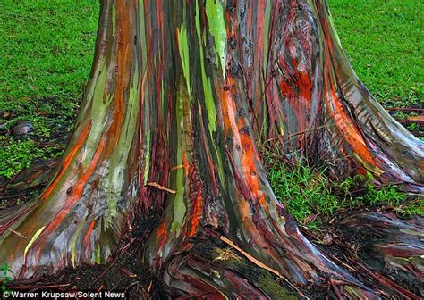 rainbow trees rainbow eucalyptus resemble colourful works of art after