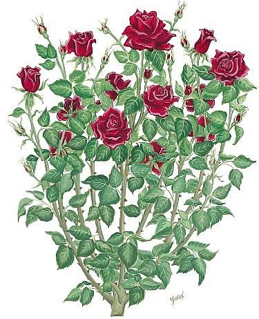 rose bush tattoo bush drawing inspiration i see lots of