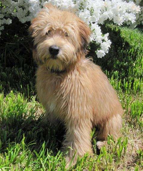 soft haired wheaten terrier puppy soft coated wheaten terrier history personality appearance health and pictures