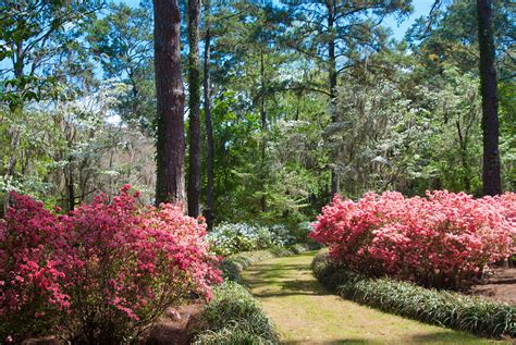 Maclay Gardens by Chasing Camellias At Alfred B Maclay Gardens State Park