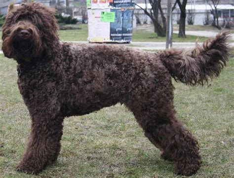 Types Of Dogs With Curly Hair by Curly Haired Sheep Curly Hair