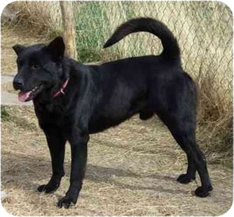 lab chow rottweiler mix chow chow american staffordshire terrier mix breeds picture