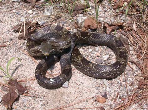 gray rat snake elaphe obsoleta spiloides