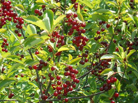 Pohon Cherry By One Home black cherries nature s healing fruit elephant journal