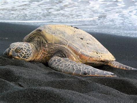Sleepy Turtle punalu u