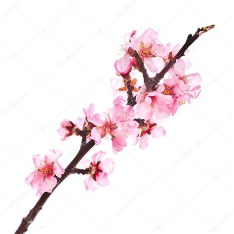 fiori di mandorlo fiori di mandorlo rosa foto stock 169 vanazi 27606081