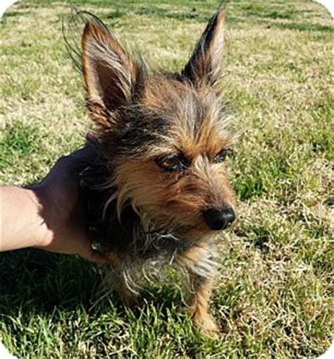 yorkie australian terrier mix pet not found