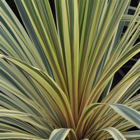 cordyline australis albertii plantes et jardins