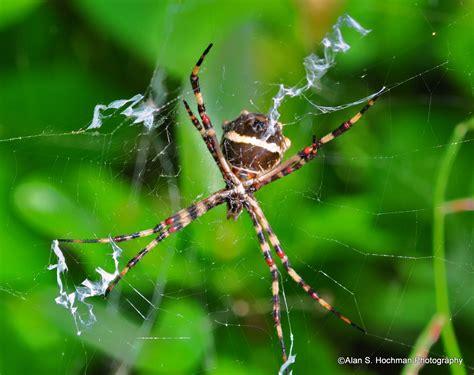 Garden Spider Mn by Black And Yellow Garden Spider Argiope Aurantia