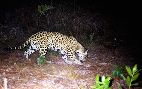mexican jaguars top 10 facts about jaguars rainforest cruises