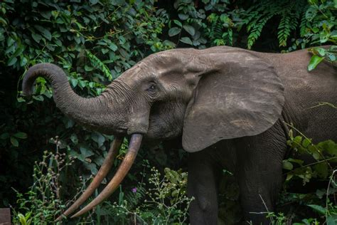 an forest elephant returns from the in gabon out of loango the road chose me