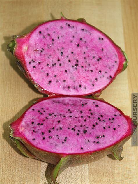 Hysteria Dragonberry Gum Cotton Fruit Cactus Plant Kens Nursery