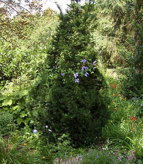 mein schöner garten forum eibe schneiden eibe schneiden landhausgarten mit