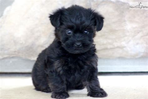 pictures yorkie poo puppies aussie poo puppies for sale breed aussie poo breeds picture