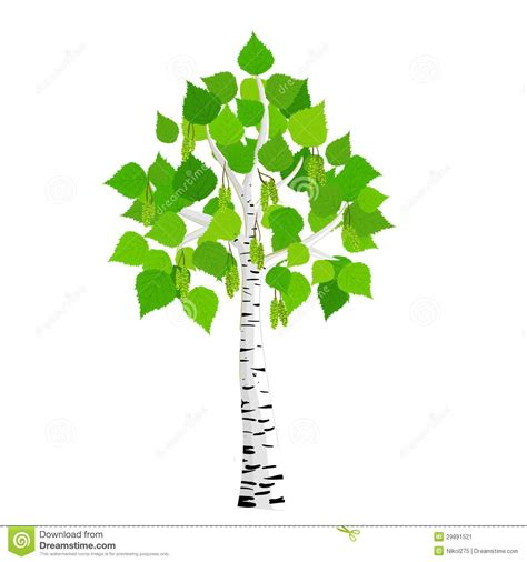 vector birch tree stock vector image of picture