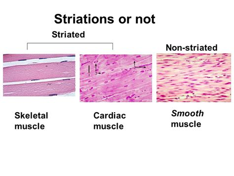 striated cell diagram enables movement possible ppt