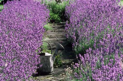 Alan Titchmarsh Tips On Growing Lavender In Your Garden All Year Garden Flowers