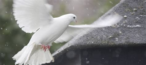 homing and keeping doves robinson garden