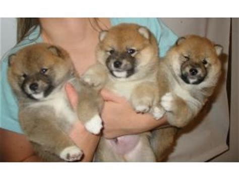 shiba inu puppies for sale in ma shiba inu puppies for sale in illinois