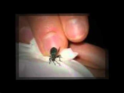 bed bugs   mattress deals bed bugs