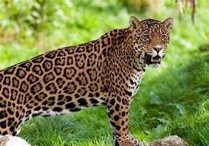 Jaguars Picture On 231 A Pintada