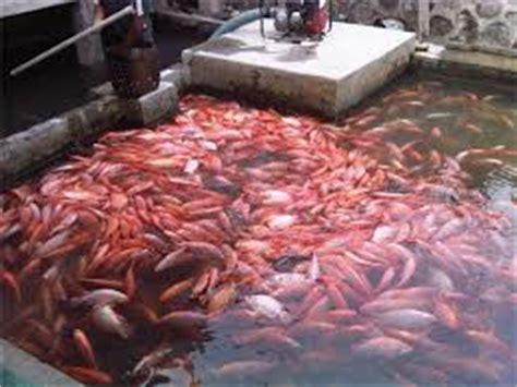 Pakan Ikan Lele Mancing Di Kolam cara budidaya ikan nila kolam terpal cepat besar mancing