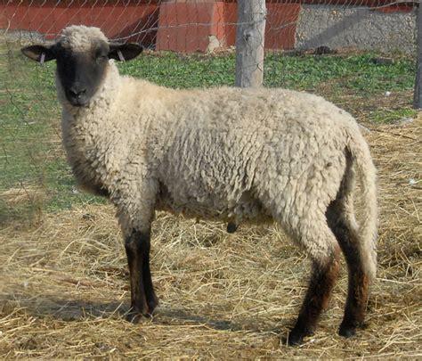 hungarian cigaja sheep geneconservationhu