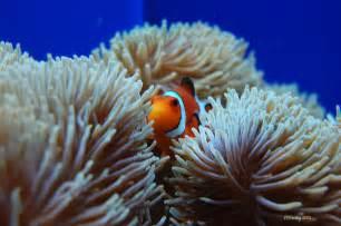Clown Fish Photograph   Clown Fish In Sea Anemone by Susan Stevens