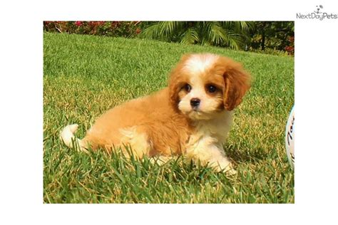 cavapoo puppies for sale california cavapoo puppy for sale near san diego california 333420fe c641