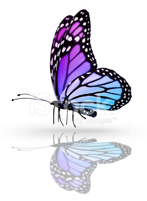 Gamis Buterfly Premium White Pasmina blue butterfly isolated on white mirror background stock photos freeimages