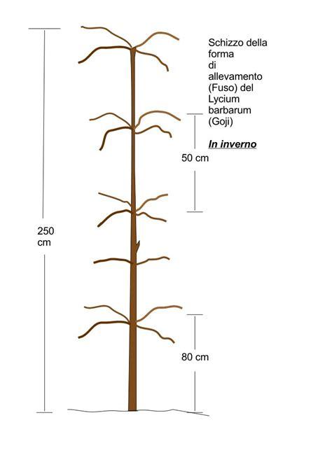 coltivazione goji in vaso www lyciumbarbarum it
