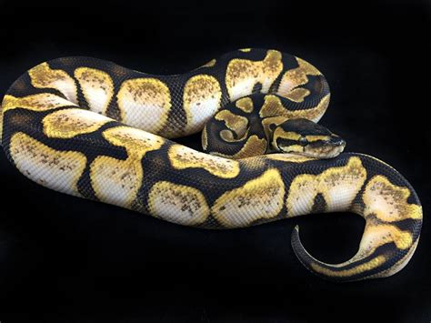 Cheap Kitchen Cabinets In Philadelphia by Calico Enchi Ball Python Ball Python Morph Texas On The