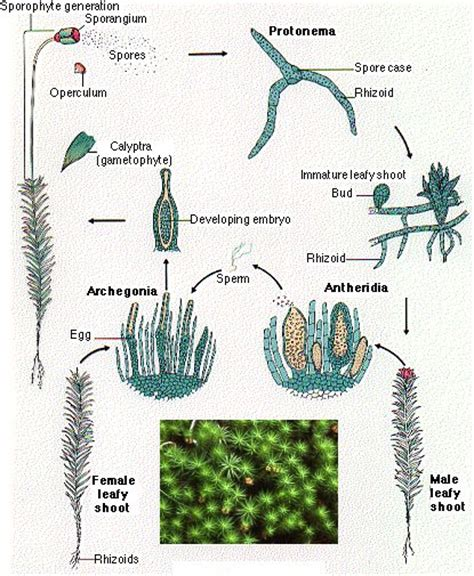 liverwort cycle diagram mosses and liverworts