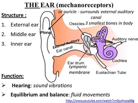 inner ear structure and function sight hearing taste smell touching ppt