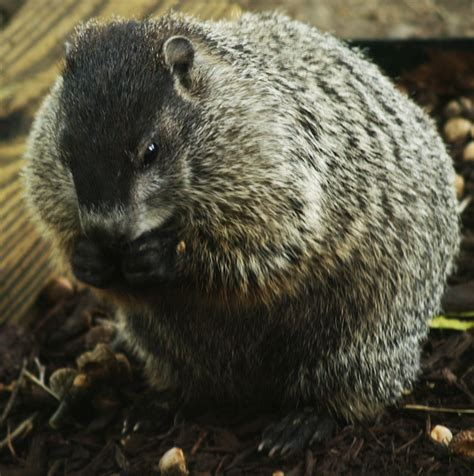 groundhog day theory woodchuck photos