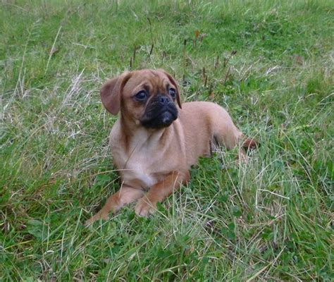 cavalier x pug puppies for sale pugalier puppies for sale pug x cavalier king charles spaniel airds quotes