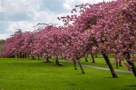 cherry tree b b blackpool blossoming cherry tree free stock photo domain pictures