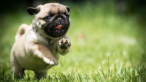 pug puppies hd wallpapers pug puppy wallpaper wallpaper studio 10 tens of thousands hd and ultrahd