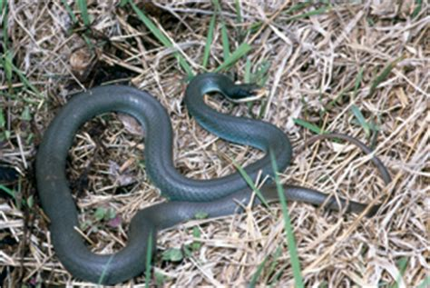 Garden Racer Snake Found A Blue Racer Snake About 4 Ft In My Garden 5 12 12 Oh Dear Into The Woods