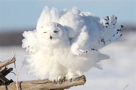 what do snowy owls eat