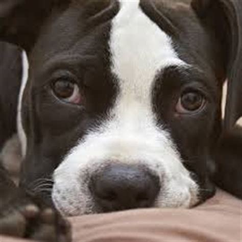 can dogs get pink eye from humans conjunctivitis in dogs canine conjunctivitis how to treat is it contagious