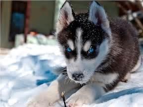 alaskan husky puppies beautiful alaskan husky puppy animals beautiful and