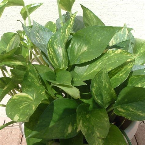 house plant the 7 best houseplants for low light conditions plant pictures houseplants and pothos vine
