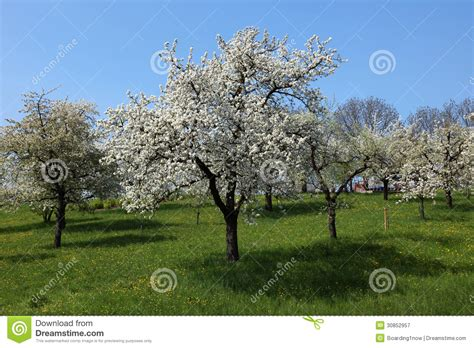 cherry tree unripe cherry trees on a green meadow royalty free stock photography image 30852957