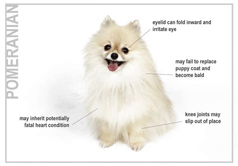 pomeranian hip problems health risks for seven top breeds canna pet 174