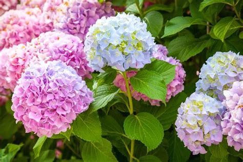 fiori da giardino fiori da giardino perenni giardinaggio tipologie di