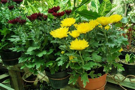 Jual Bibit Bunga Krisan Malang malang merdeka oleh oleh pasar bunga ini cara
