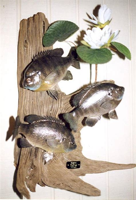 Fishing Collectibles by Antique Fishing Collectibles Taxidermy Panfish Antique
