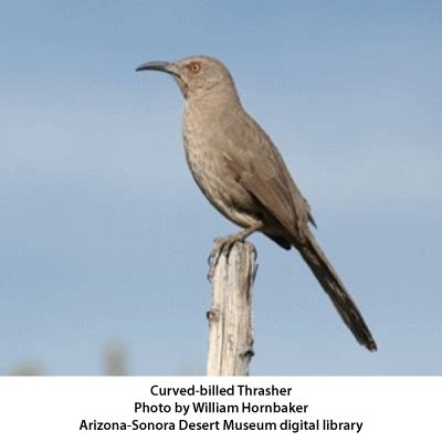 birds of southern arizona curve billed thrasher a bold and inquisitive bird arizona daily independent