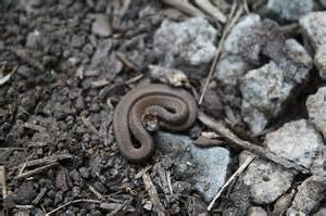 polliwog on safari wordless wednesday baby snake in my